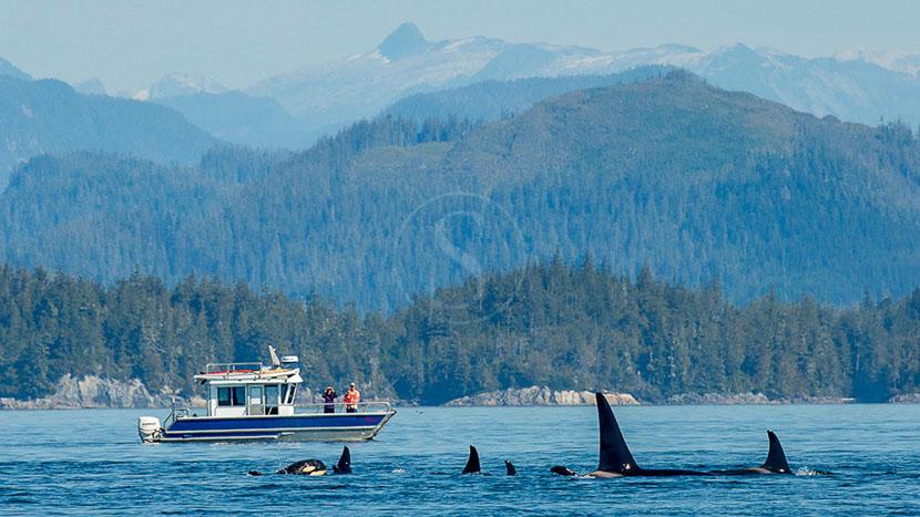Croisière d'observation des orques, Nimmo Bay Resort, Canada © Jeremy Koreski