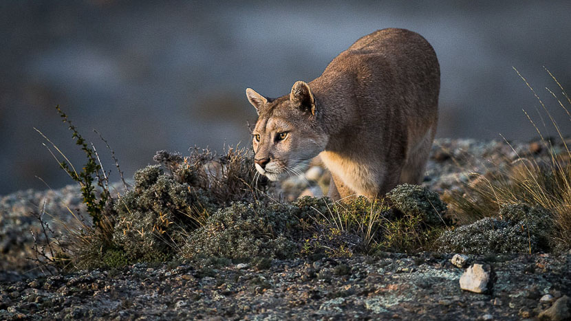 Observation du puma au parc national Torres del Paine, Puma en Patagonie, Chili © Christophe Courteau