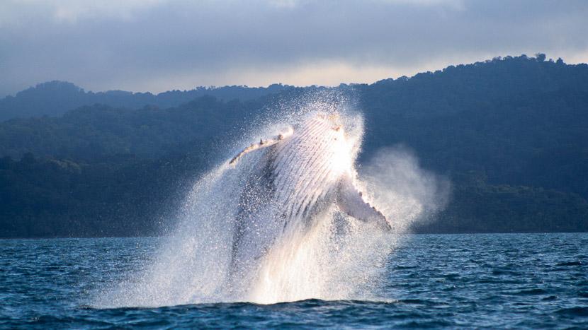 Whale Watching, Région du Pacifique, Colombie © Alexis Pradié