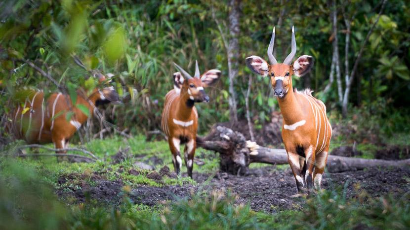 La faune unique des bais d'Odzala, Odzala Discovery Camps © Dana Allen