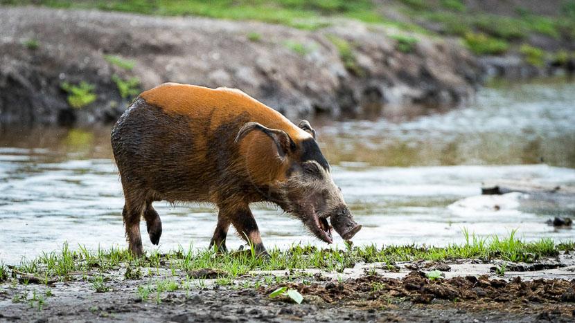Safari à pied dans les marais d'Odzala,