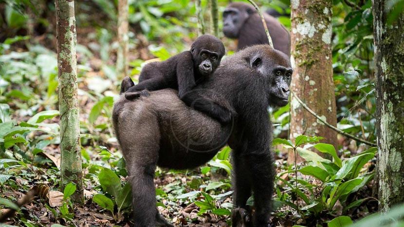 Trek gorilles des plaines de l'Ouest,