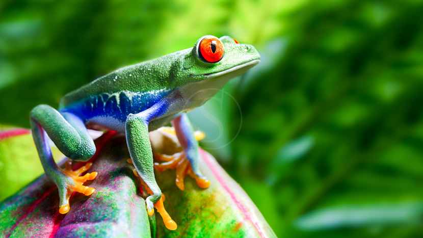 Une biodiversité à protéger, Rainette aux yeux rouges, Amérique centrale