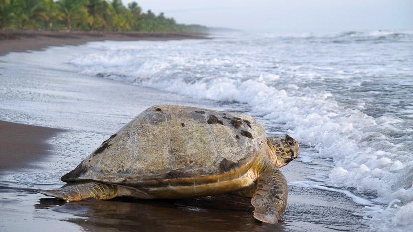 Une biodiversité à protéger, Tortue marine dans le parc de  Tortuguero, Costa Rica