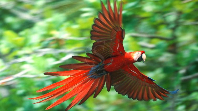 Une biodiversité à protéger, Ara dans le parc de Corcovado, Costa Rica