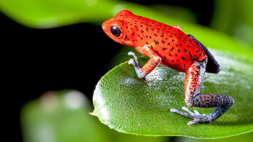 Une biodiversité à protéger, Dendrobate fraise, Costa Rica