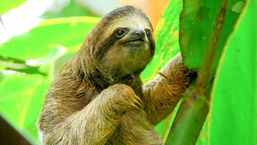 Une biodiversité à protéger, Paresseux à Tortuguero, Costa Rica