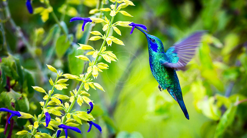 Une biodiversité à protéger, Colibri thalassin, Amérique centrale