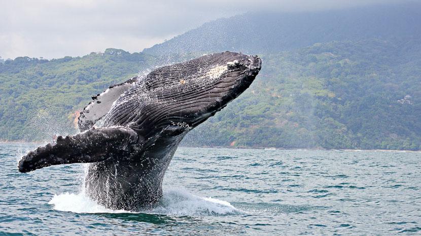 Une biodiversité à protéger, Baleine à bosse vers la Péninsule d'Osa, Costa Rica