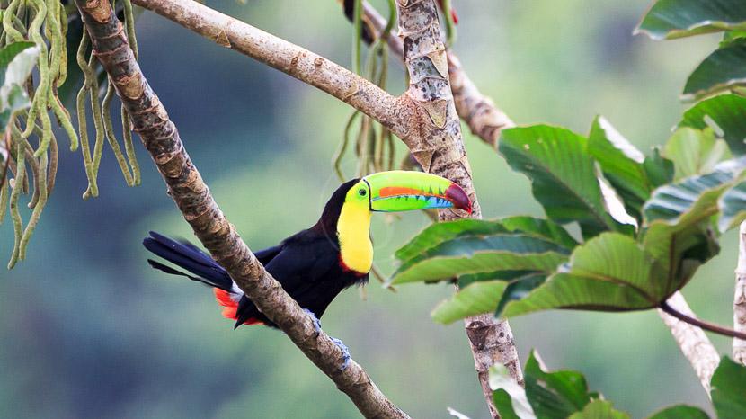 Une biodiversité à protéger, Toucan, Amérique centrale