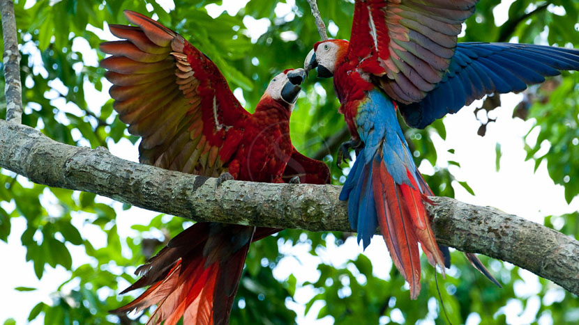 Birdwatching au Costa Rica, Aras dans le parc de Corcovado, Costa Rica