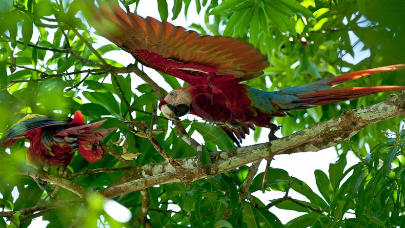 Parc national du Corcovado, Aras dans le parc de Corcovado, Costa Rica