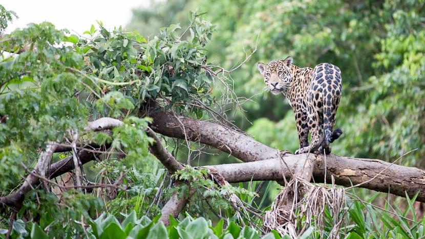Parc national du Corcovado, Jaguar au Costa Rica