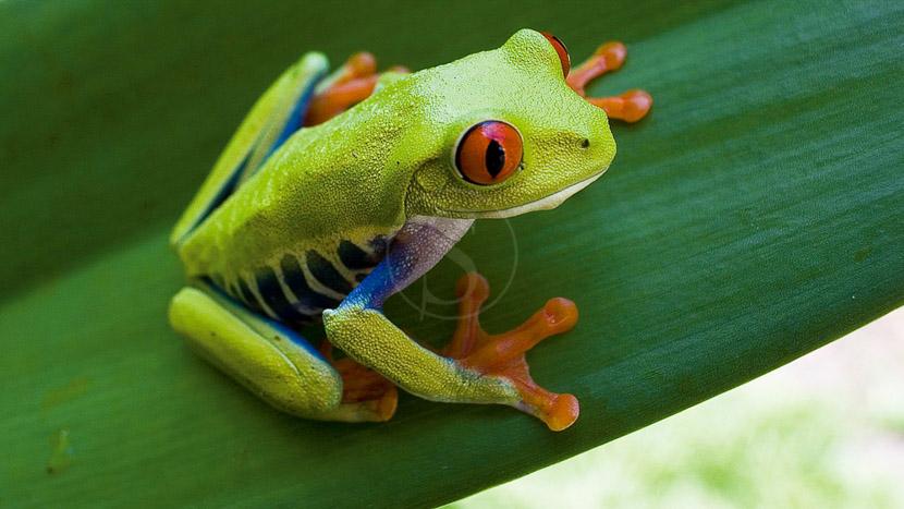Tour nocturne d'observation des grenouilles, Costa Rica © Shutterstock