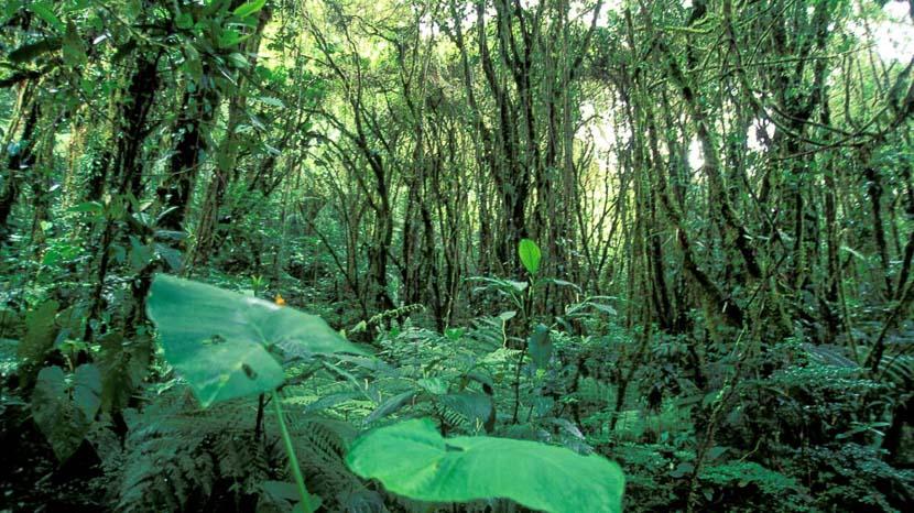 Réserve biologique de Monteverde, Forêt de nuage à Monteverde, Costa Rica