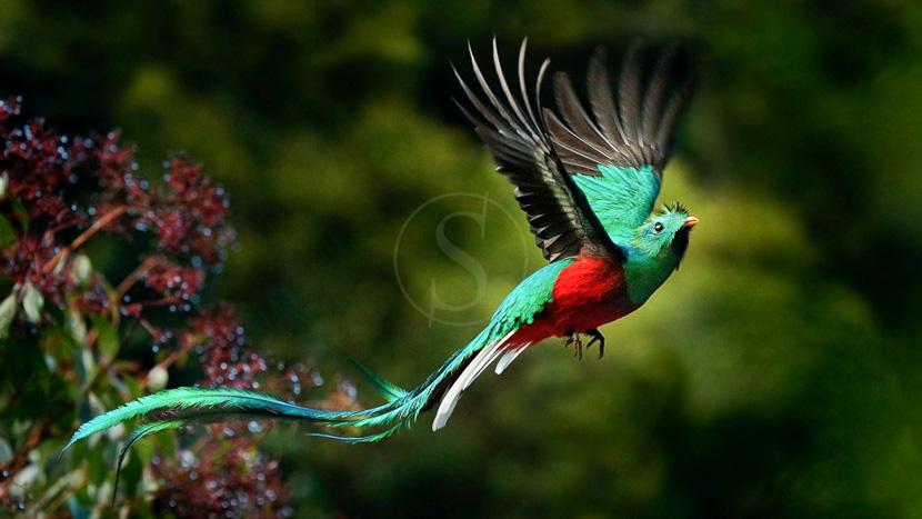 Observation du quetzal, Quetzal à Monteverde, Costa Rica