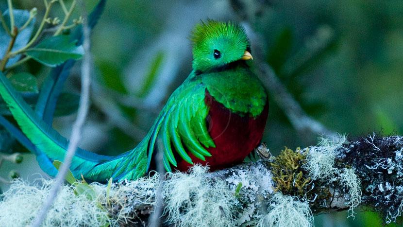 Observation du quetzal, Quetzal au Costa Rica © L. Guillot / Etendues Sauvages
