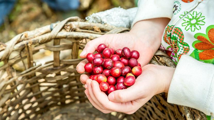 Les activités à Sarapiqui, Production de café, Costa Rica
