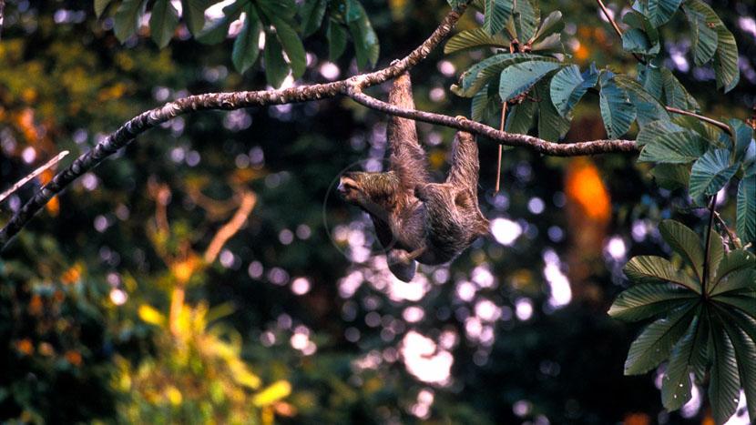 Parc national de Tortuguero, Paresseux, Costa Rica