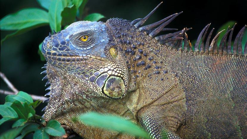 Parc national de Tortuguero, Iguane terrestre, Costa Rica