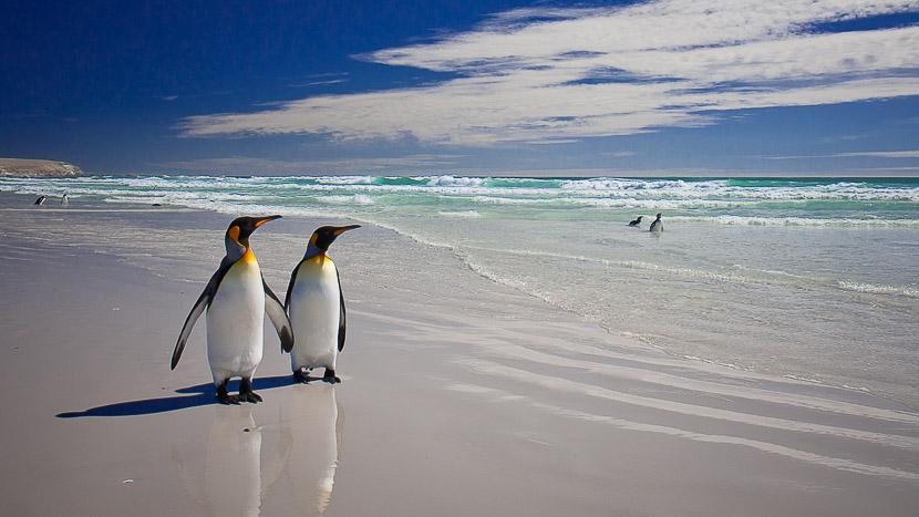 Le grand tour des Falklands et Georgie du Sud, Volunteer Point, îles Falkland, Royaume-Uni © Shutterstock