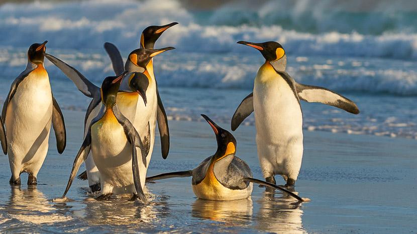 Le grand tour des Falklands et Georgie du Sud, îles Falkland, Royaume-Uni © Shutterstock