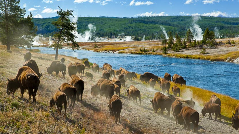 La faune du Yellowstone, Yellowstone National Park, Etats-Unis © Shutterstock