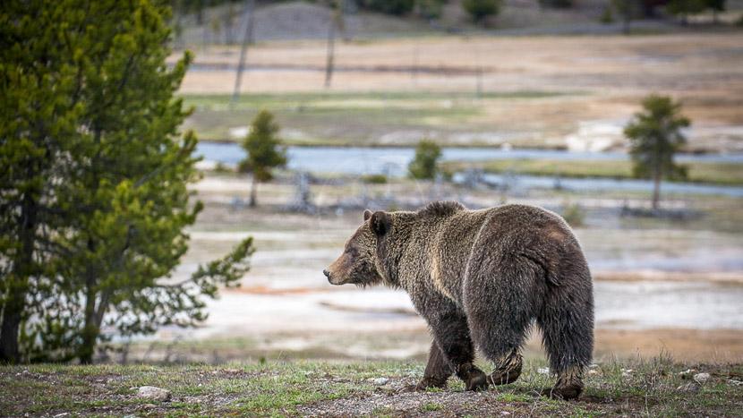 La faune du Yellowstone, Lone Mountain Lodge, Etats Unis © Tous droits réservés