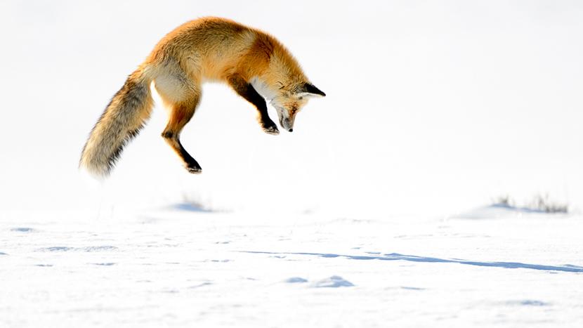 Safari hivernal dans le parc national du Yellowstone, Yellowstone National Park, Etats-Unis © Shutterstock