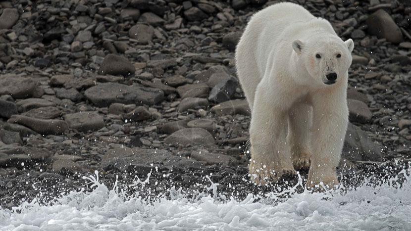 La faune sauvage du Groenland, Croisière au Groenland © Quark Expeditions
