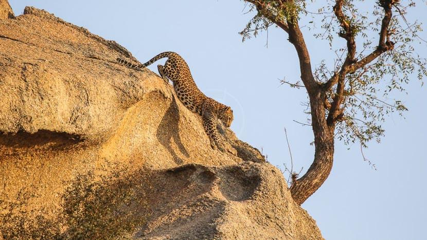 Safaris léopard proche de Mori Bera et Jawai, Jawai Bandh, Inde © Sujan Collection