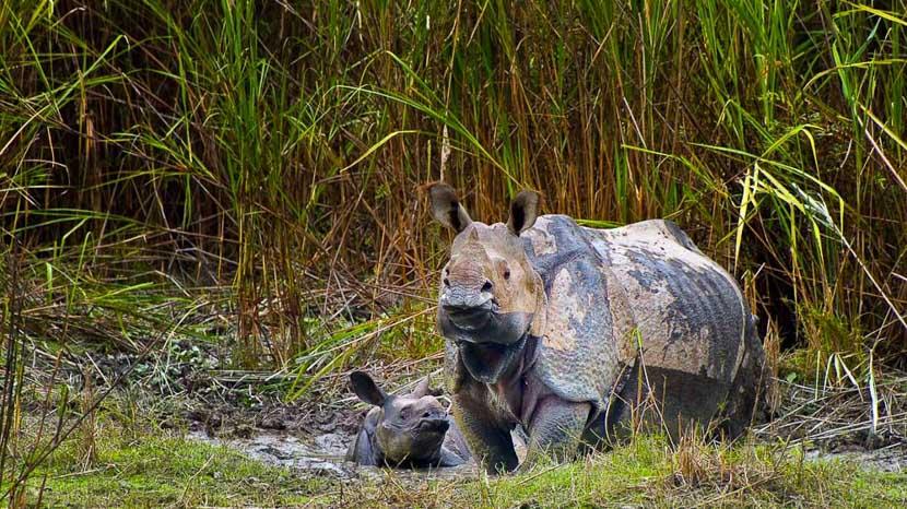 Les parcs nationaux en Inde, Rhinos à Kaziranga, Inde © Gilles Georget