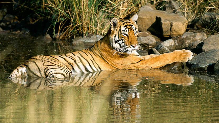 Les parcs nationaux en Inde, Safari Tigre en Inde © Alain Pons