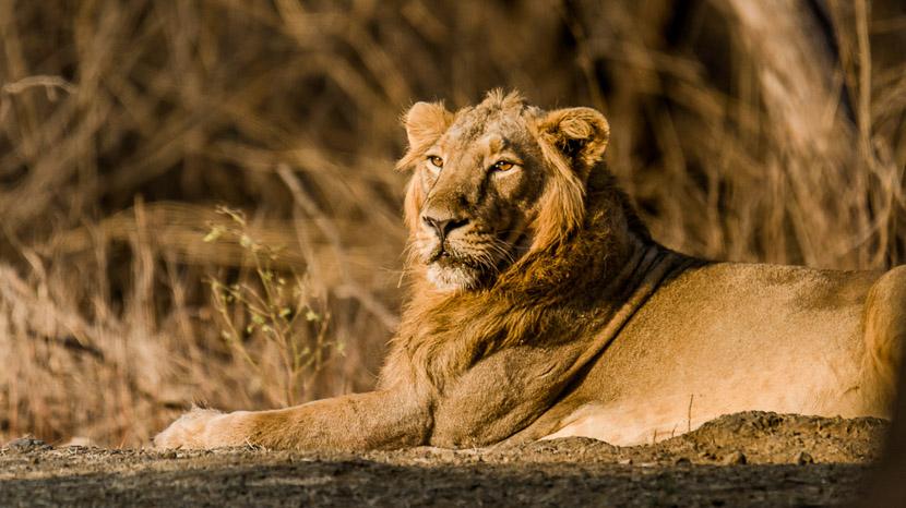 Les parcs nationaux en Inde, Parc national de Gir, Inde