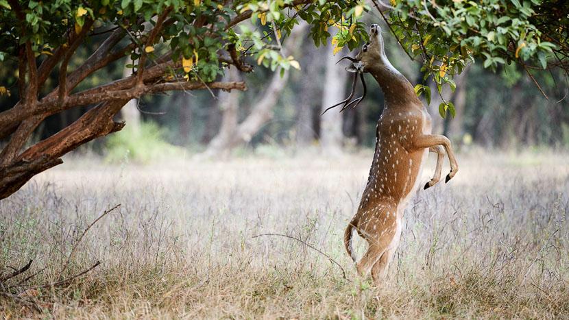 Les parcs nationaux en Inde, Safari à Ranthambore, Inde
