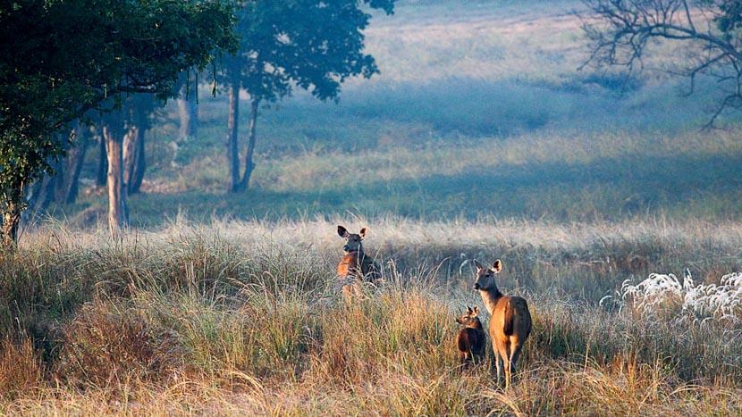 Partie de cache-cache avec le léopard, Safari dans le parc de Kanha, Inde