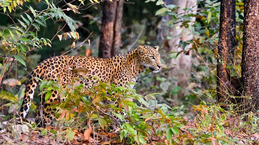 Partie de cache-cache avec le léopard, Parc de Tadoba, Inde