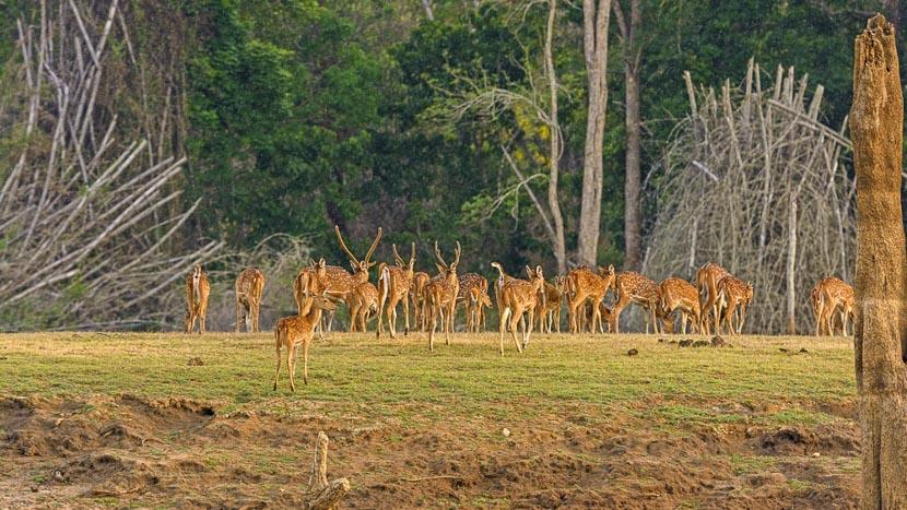 Partie de cache-cache avec le léopard, Parc de Nagarhole, Inde