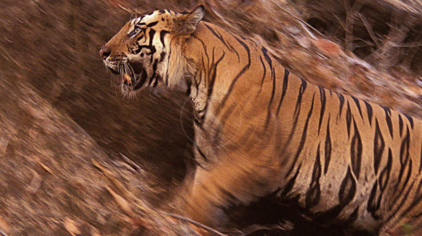 Faire un safari tigre, Safari Tigre en Inde © Alain Pons