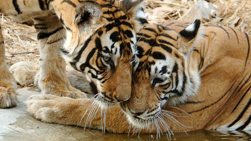 Le tigre du Bengale, Safari Tigre en Inde © Alain Pons