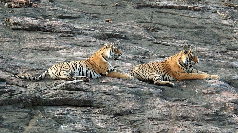 Le tigre du Bengale,