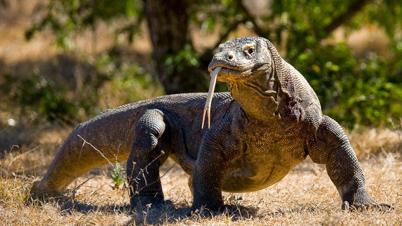 Les dragons de Komodo, Ile de Komodo, Indonésie