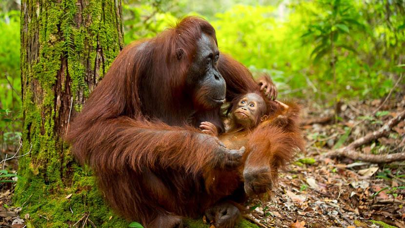 Les orangs-outans de Kalimantan, Bornéo, Indonésie