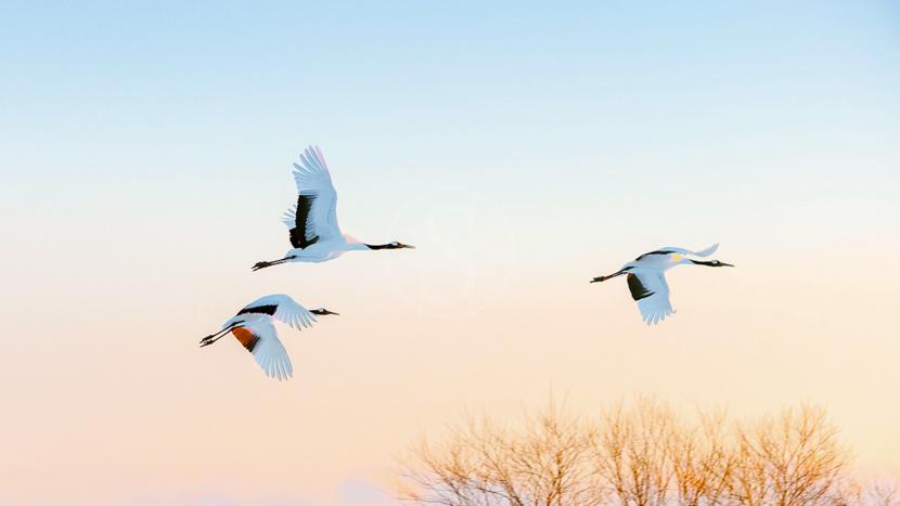 Parc national d'Akan, Grues à Hokkaido, Japon © shutterstock