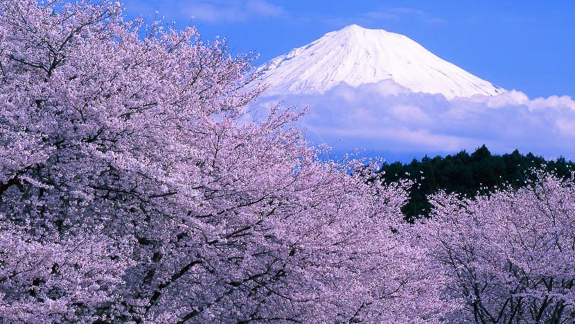 Les cerisiers en fleur, Mont Funji et cerisiers en fleur, Japon