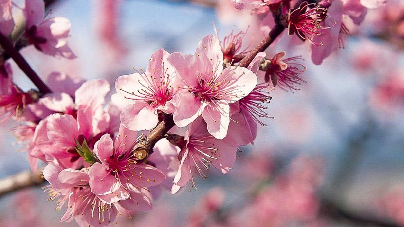 Les cerisiers en fleur, Cerisiers en fleur, Japon © jnto