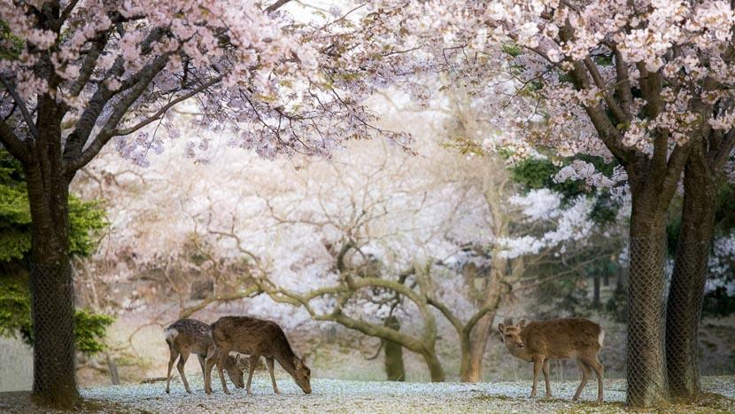 Les cerisiers en fleur, Nara, Japon