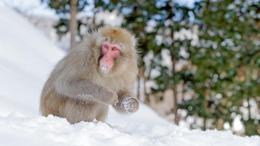 Parc aux singes de Jigokudani, Macaque japonais à Hokkaido, Japon © shutterstock
