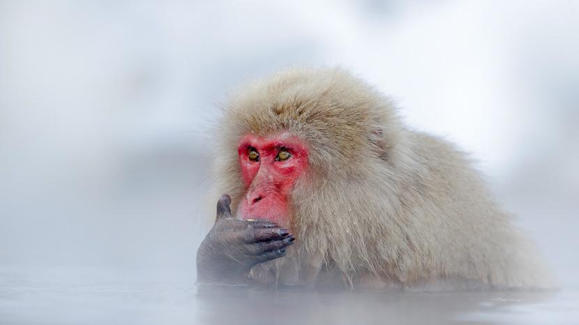 Parc aux singes de Jigokudani, Ambiance de Nagano, Japon © shutterstock