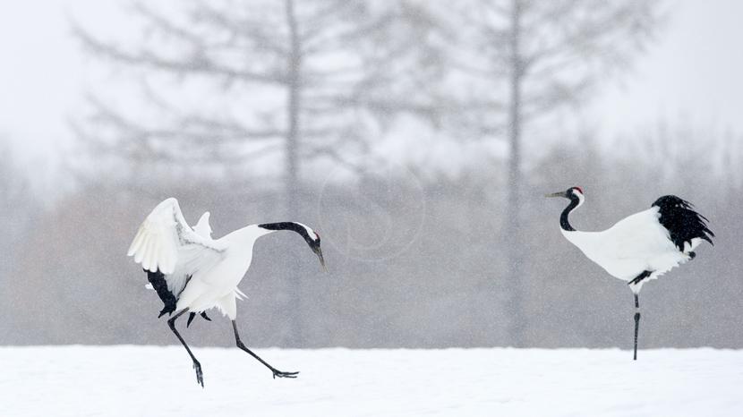 Tsurui Ito Tancho Crane Sanctuary, Grues à Hokkaïdo, Japon